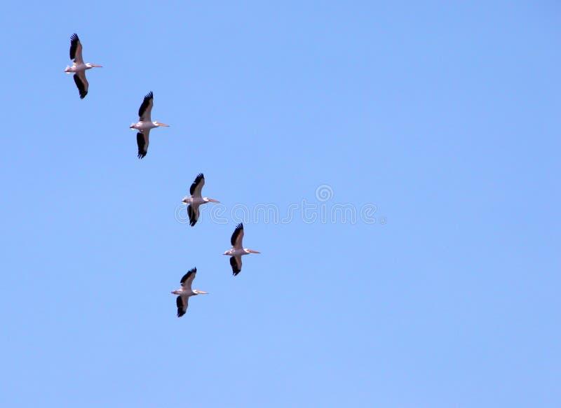 Het Migreren Van Pelikanen Royalty-vrije Stock Afbeeldingen