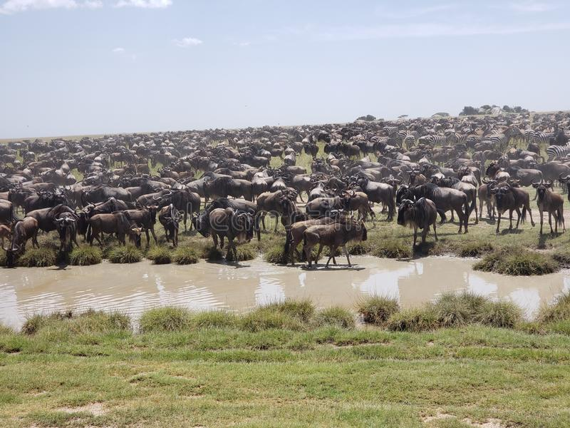 Het migreren Wildebeests en Zebras, het Nationale Park van Serengeti, Tanzania stock afbeeldingen
