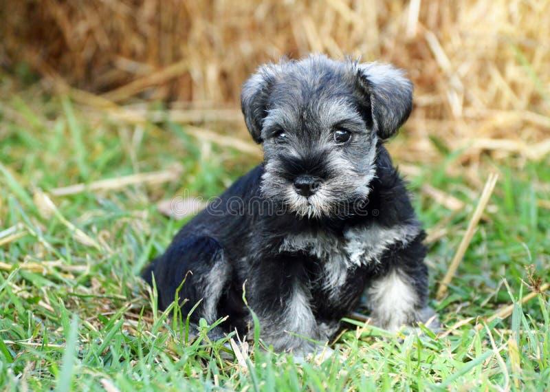Het miniatuurportret van de het puppyhond van Schnauzer zwarte en zilveren in openlucht stock afbeelding