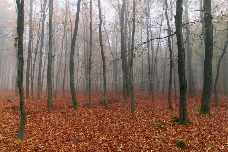 Het mistige bos van de de herfstbeuk stock afbeelding