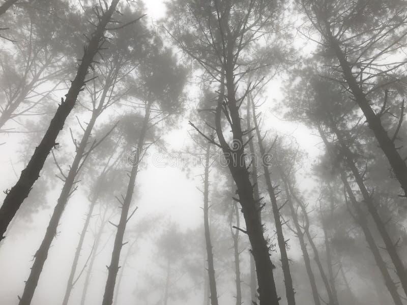 Het mistige bos van de pijnboomboom met het stromen licht stock afbeeldingen