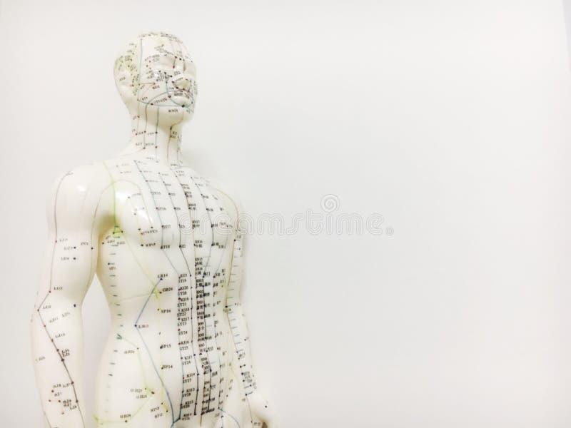 Het model van het acupunctuurpunt stock fotografie