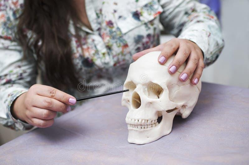 Het model van de schedel in de handen van een arts in een medische salon stock foto
