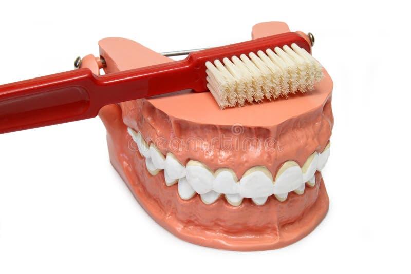 Het model van tanden stock afbeeldingen