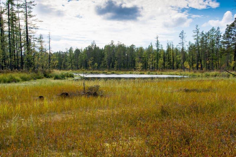 het moeras in het bos stock foto's