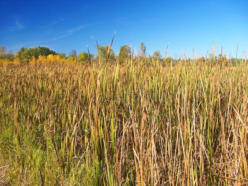 Het moeraslandschap van Wisconsin cattail stock fotografie