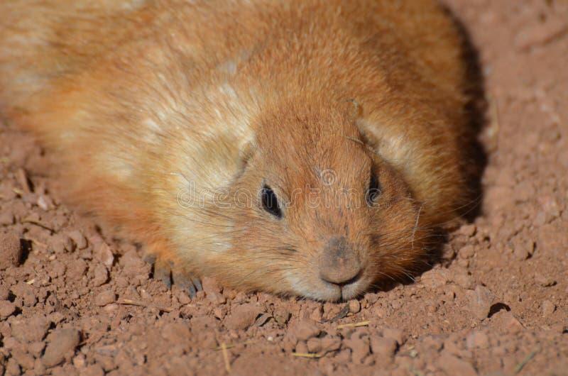Het mollige Rustende Prairiehond Bepalen royalty-vrije stock foto's