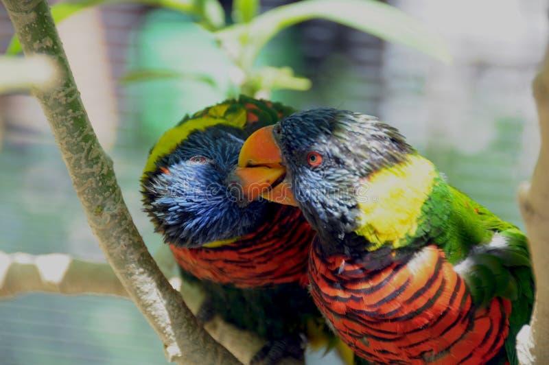 Het moluccanuspaar van regenbooglorikeet Trichoglossus Vogels sluit omhoog het Kussen royalty-vrije stock afbeelding
