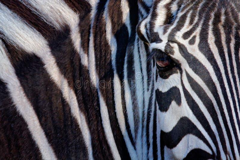 Het monochromatische beeld van het gezicht van het gestreepte, grote oog van een Grevy in de zwart-witte stroken, detailleert die royalty-vrije stock afbeeldingen