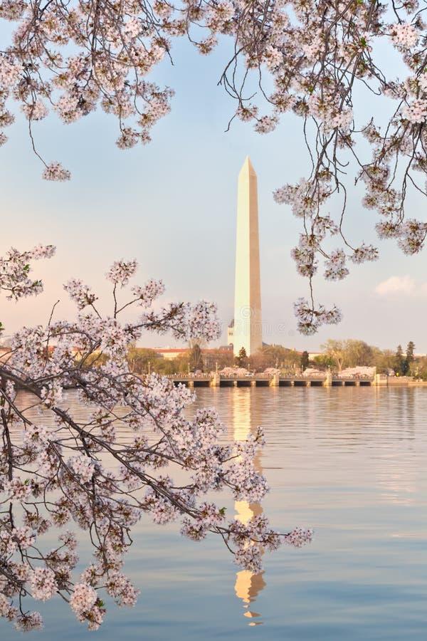 Het Monument van het Washington DC met de Bloesems van de Kers royalty-vrije stock foto's