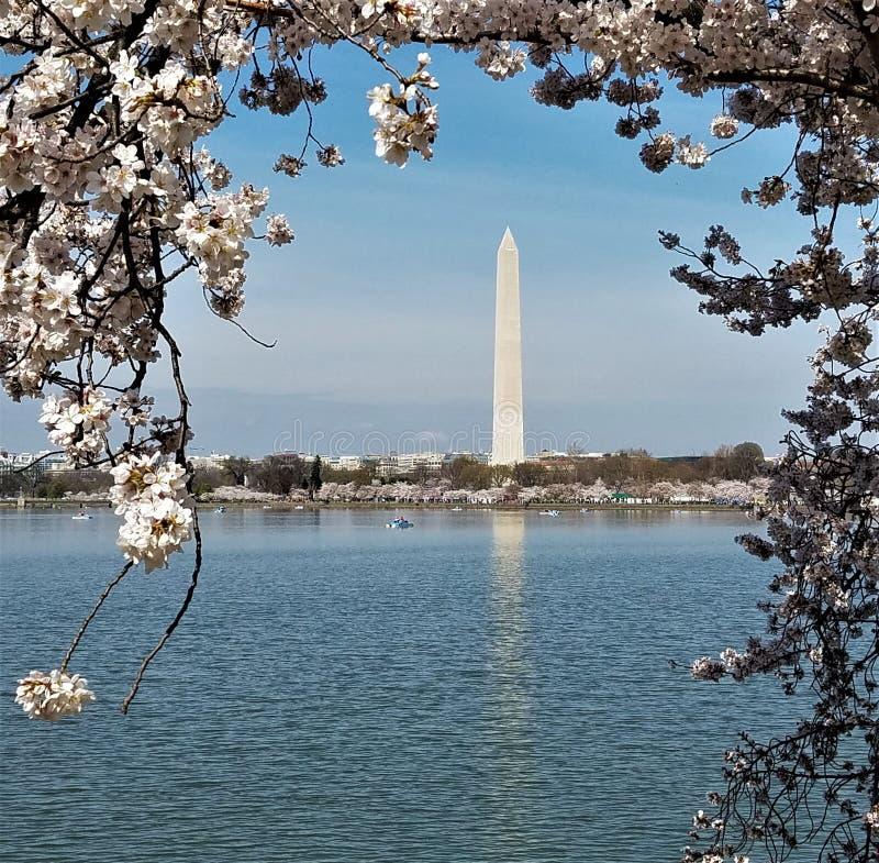 Het Monument van Washington frame door kersenbloesems royalty-vrije stock foto