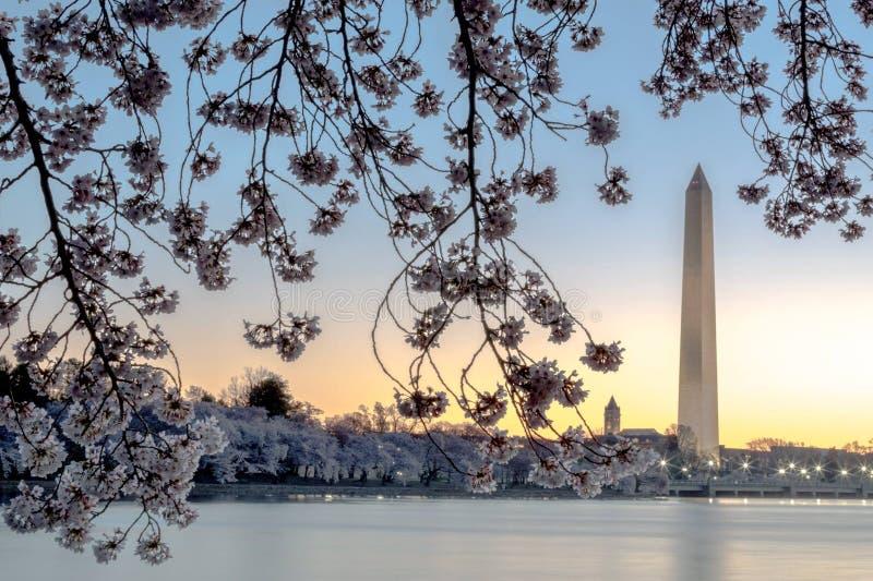 Het Monument van Washington frame door kersenbloesems stock afbeelding