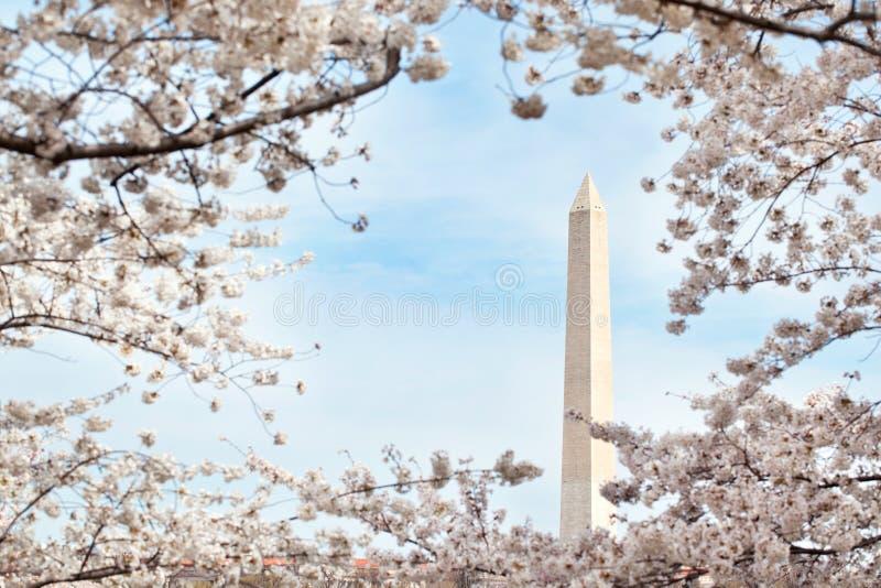 Het monument van Washington met kersenbloesems royalty-vrije stock afbeelding