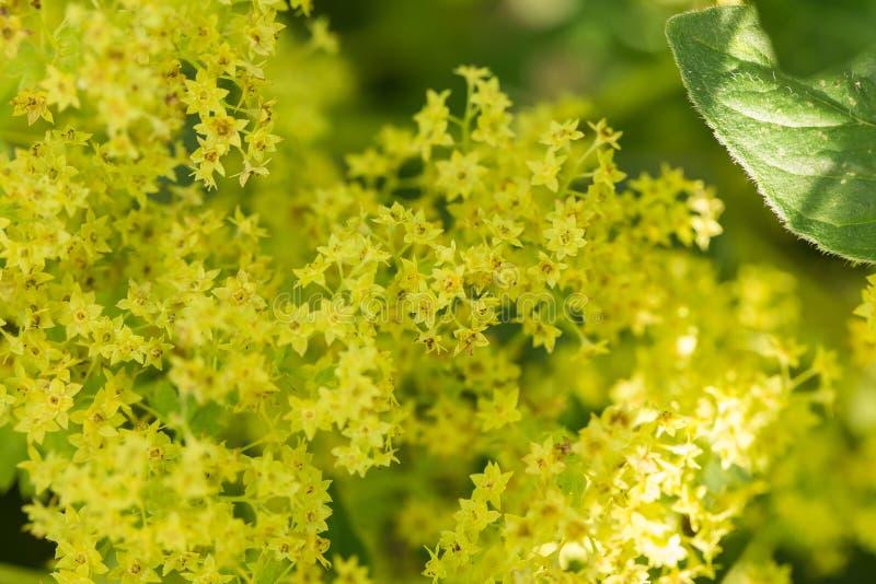 Het mooie alchemilla vulgaris bloeien in de tuin De gemeenschappelijke bloemen van de dame` s mantel royalty-vrije stock fotografie