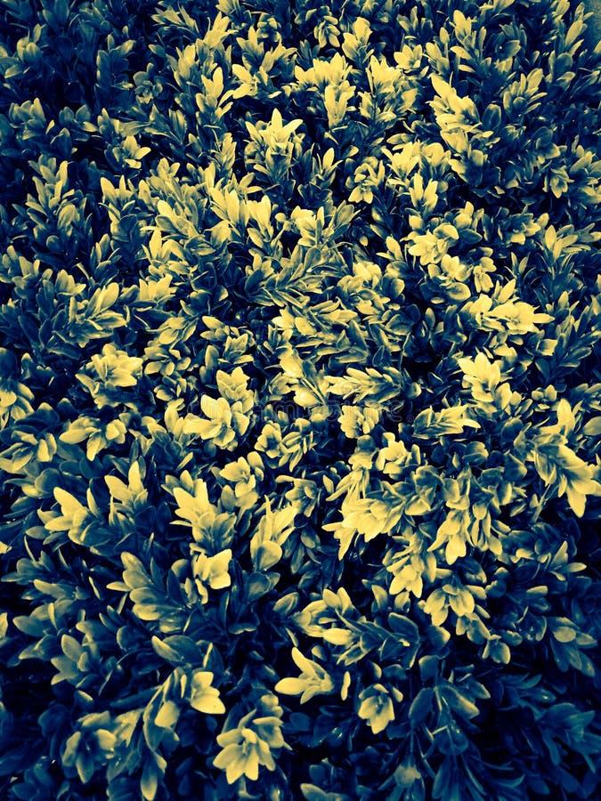 Het mooie blad van de close-upboom of abstracte gele en witte de kleuren sierplanten van de verlofillustratie in de tuin stock foto's