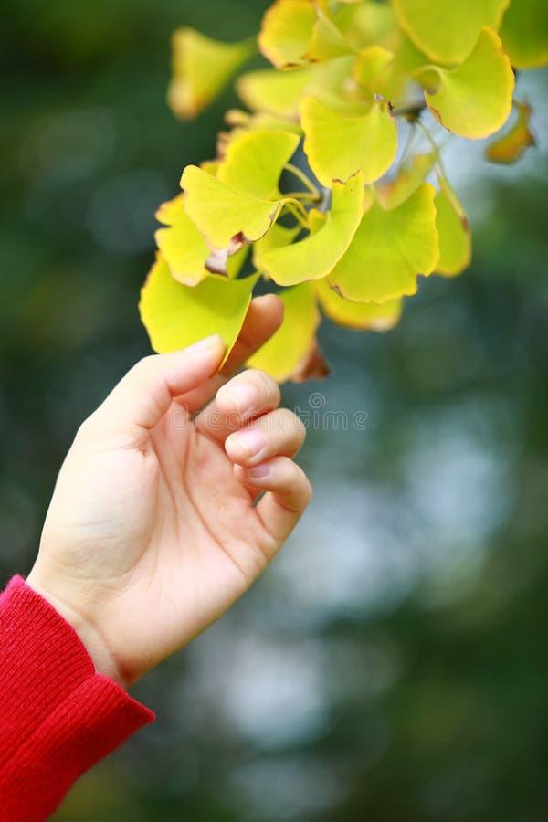 Het mooie blad van Ginkgo van de handaanraking Gouden gele royalty-vrije stock afbeelding