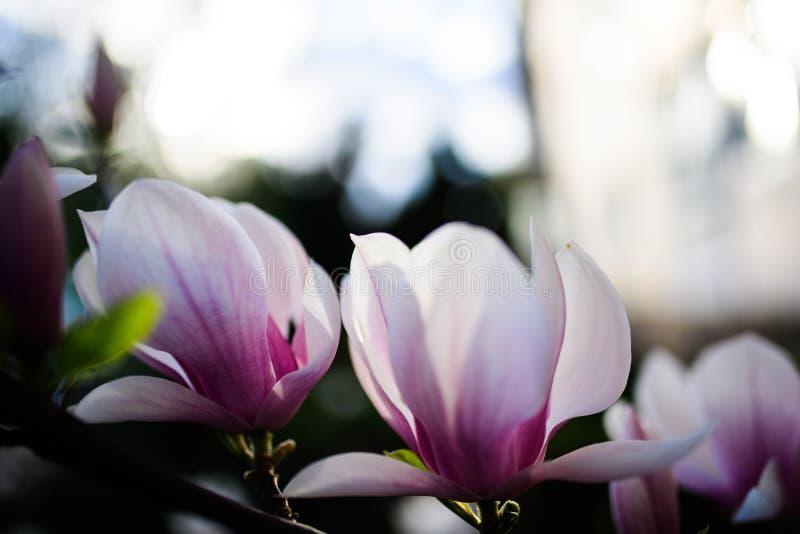 Het mooie bloeien, bloeiende mooie boom - kwam de tak van de magnoliabloem in de lente tot bloei stock afbeelding