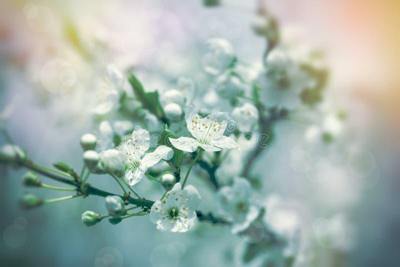 Het mooie bloeien, bloeiende fruitboom in de vroege lente stock foto's