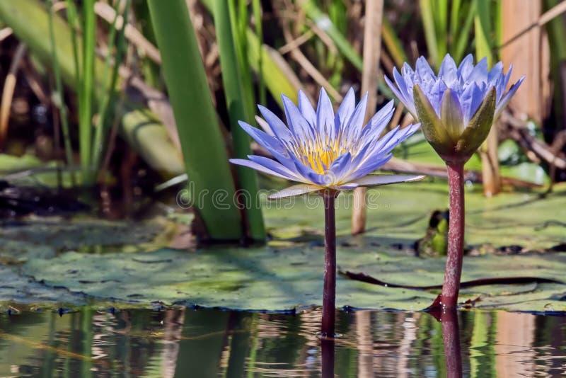 Het mooie bloeien lotuses lat Nelumbo op de waterspiegel Het purpere waterleliebloem groeien in een tuinvijver stock fotografie