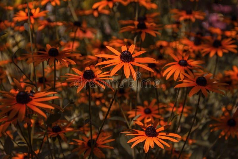 Het mooie bloem groeien in de de zomertuin stock foto's
