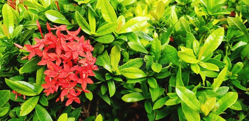 Het mooie boeket van Aar, het rood of Ixora bloeien het bloeien met groene bladerenachtergrond stock foto