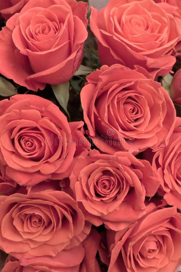 Het mooie boeket van rozen van baksteen kleurt dicht omhoog stock fotografie