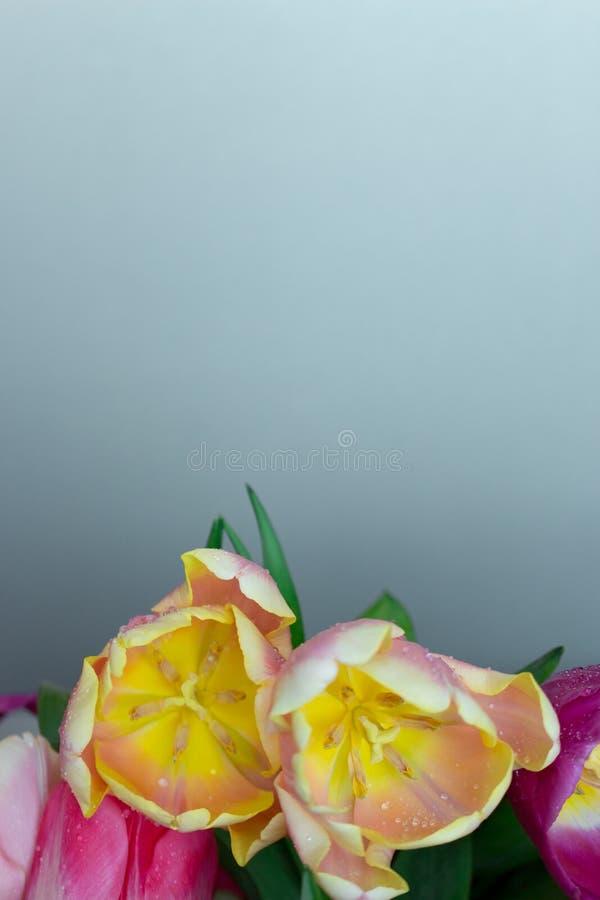 Het mooie boeket van verse kleurrijke roze purpere gele tulpen bloeit op grijze neutrale achtergrond met copyspace royalty-vrije stock foto's