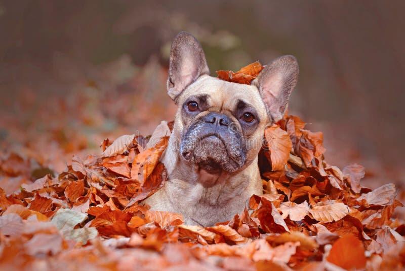 Het mooie bruine Franse het meisje van de Buldoghond liggen op bos behandelde grond in de herfst gaat weg stock foto