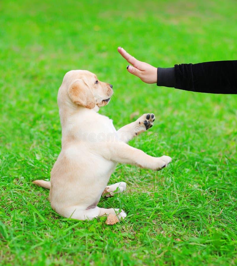 Het mooie de Labrador van het hondpuppy spelen met eigenaar stock afbeelding