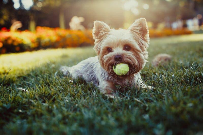 Het mooie de terriër van Yorkshire spelen met een bal op een gras stock foto's