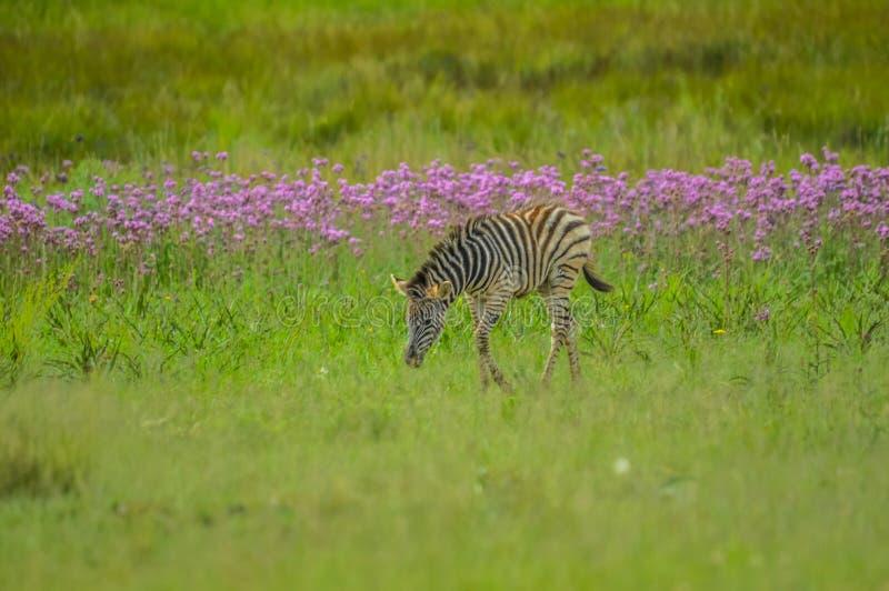 Het mooie die Rietvlei-natuurreservaat dichtbij Pretoria en Centurion met purpere pompom wordt gevoerd wiedt Campuloclinium macro royalty-vrije stock foto's