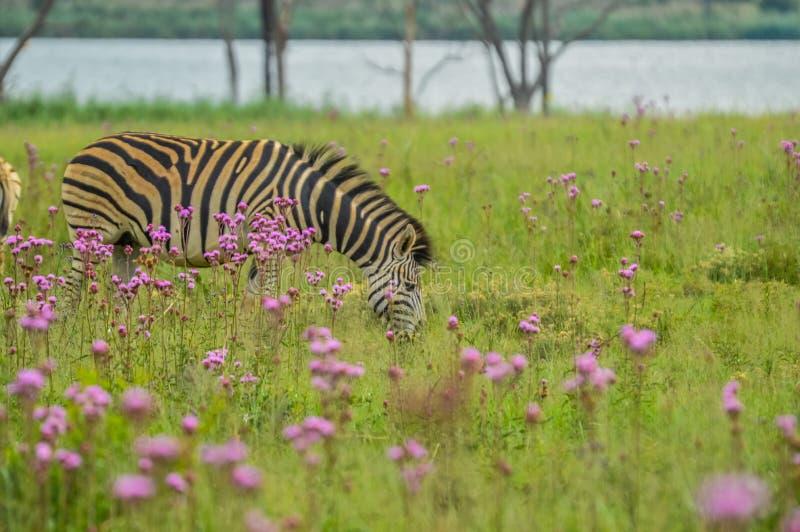 Het mooie die Rietvlei-natuurreservaat dichtbij Pretoria en Centurion met purpere pompom wordt gevoerd wiedt Campuloclinium macro royalty-vrije stock afbeelding