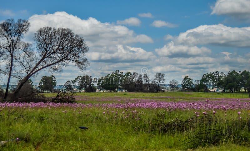 Het mooie die Rietvlei-natuurreservaat dichtbij Pretoria en Centurion met purpere pompom wordt gevoerd wiedt Campuloclinium macro stock foto's