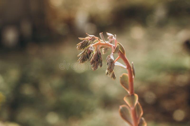 Het mooie Echeveria-Bloeien royalty-vrije stock fotografie