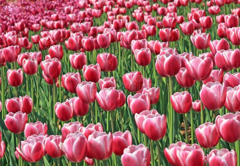Het mooie gebied van tulpenbloemen. stock foto