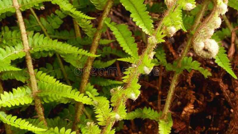 Het mooie gebladerte van varenbladeren Natuurlijke bloemenvarenachtergrond royalty-vrije stock afbeeldingen