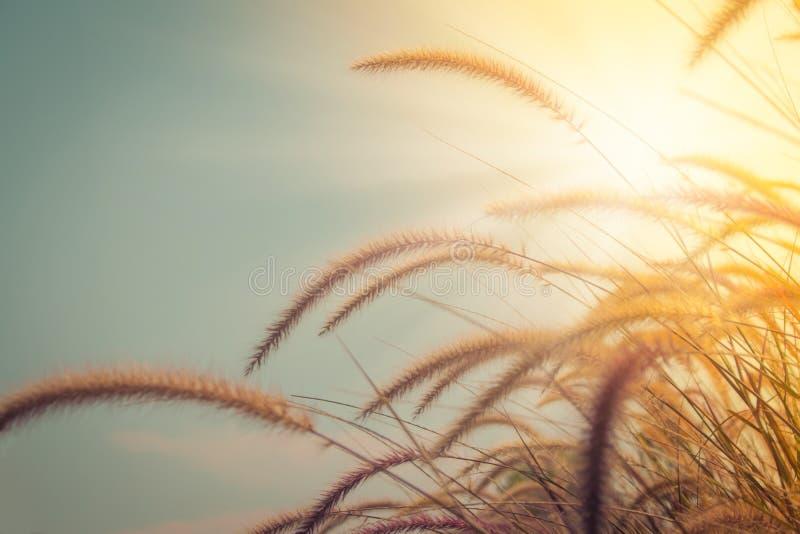 Het mooie gras bloeit op groen gebied met zonlicht op de achtergrond in de seizoengebonden zomer royalty-vrije stock afbeeldingen