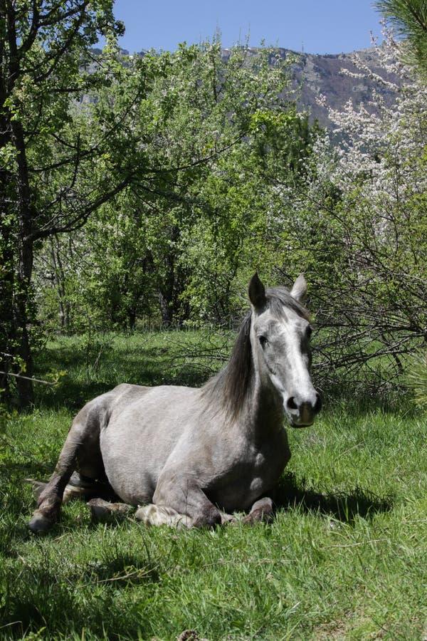Het mooie grijze paard ligt in een opheldering onder groene bomen, de lentetijd royalty-vrije stock afbeelding