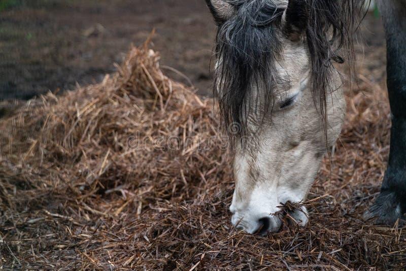 Het mooie huis witte paard eet hooi stock afbeelding