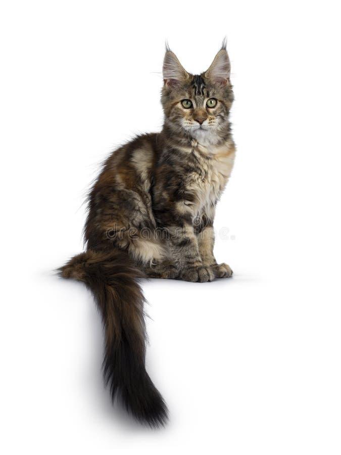 Het mooie katje van tortiemaine coon op wit stock foto
