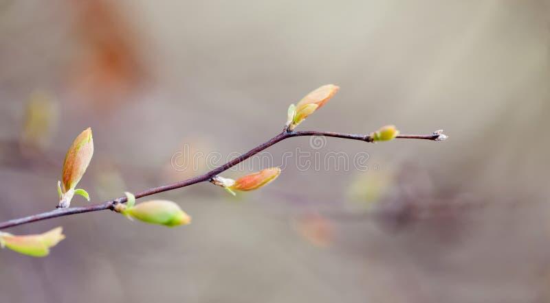 Het mooie landschap van de de lenteaard, boomtakje met kleurrijke rode groene bladeren macromenings selectieve nadruk stock foto's
