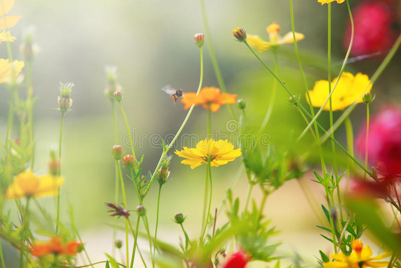 Het mooie licht met gele kosmos bloeit gebied met ondiepe diepte van gebiedsgebruik als natuurlijke achtergrond, achtergrond stock foto's