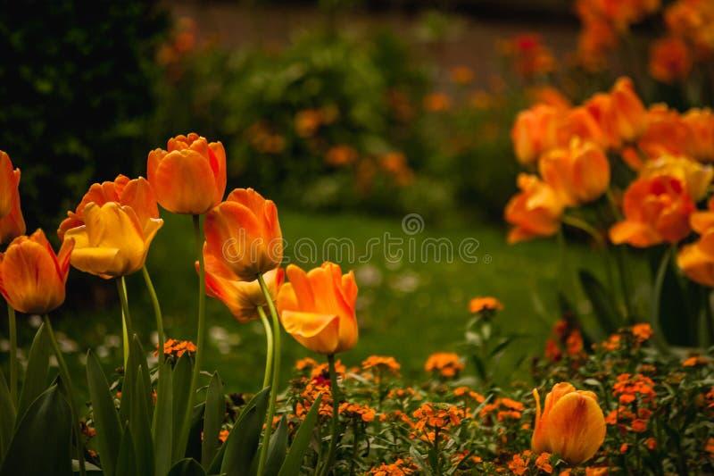 Het mooie oranje gebied van de tulpenbloem stock foto