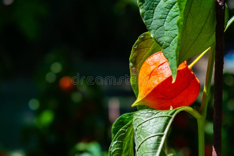 Het mooie oranjerode close-up van Physalis stock fotografie