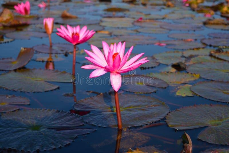 Het mooie overzees van aard rode Lotus in de ochtend stock foto