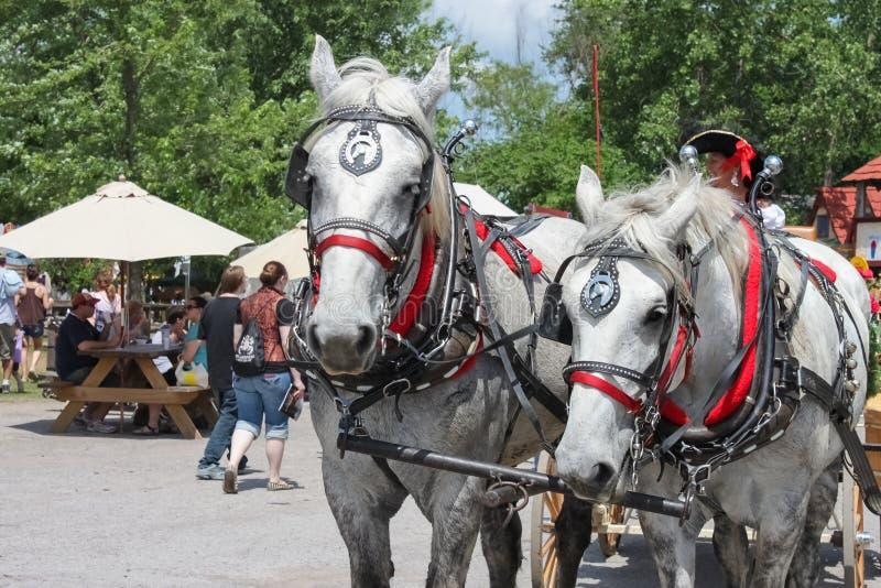 Het mooie paar aangepaste witte paarden in mooie uitrusting met veel rood en oogkleppen en de klokken trekken wagen in Renassianc royalty-vrije stock afbeeldingen