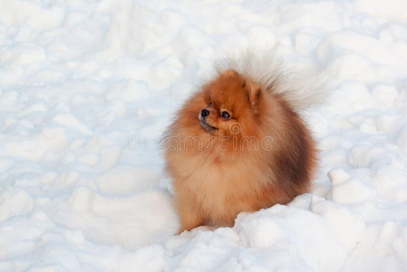 Het mooie pomeranian puppy zit op een witte sneeuw Huisdieren royalty-vrije stock afbeeldingen