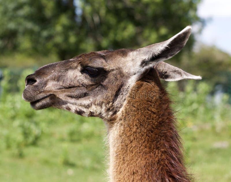 Het mooie portret van een lama stock afbeelding