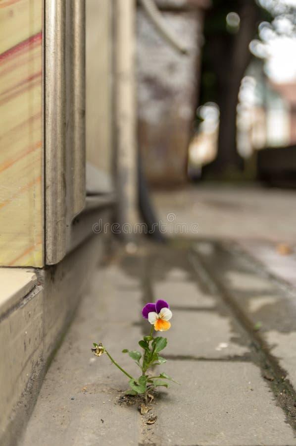 Het mooie purpere witte en gele viooltje groeide tussen het asfalt en de concrete muur royalty-vrije stock foto's