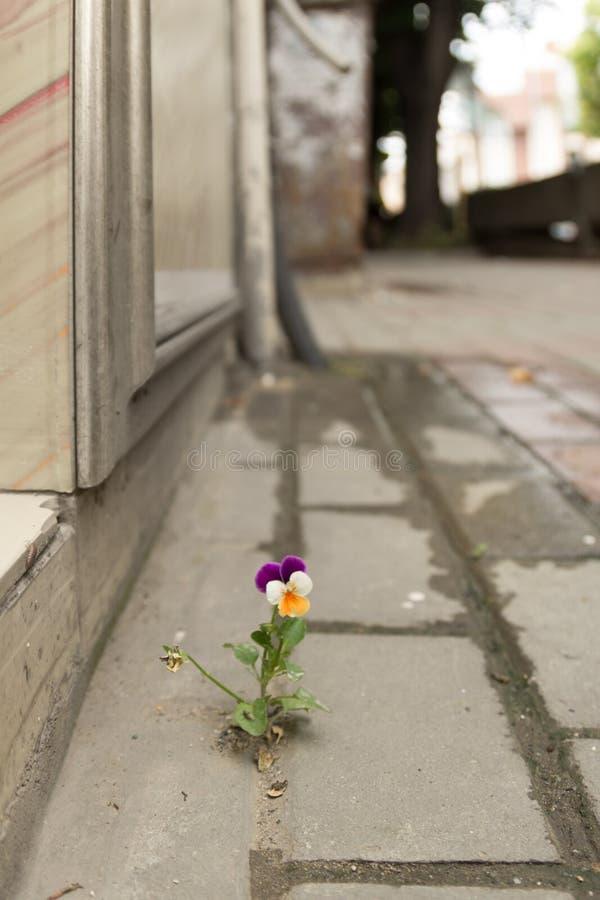 Het mooie purpere witte en gele viooltje groeide tussen het asfalt en de concrete muur royalty-vrije stock afbeeldingen